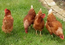Kippenschuur bij Escape Room in Woudenberg